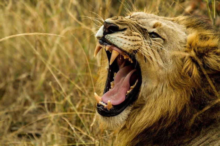 lion-1141303_1280